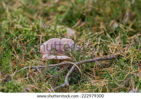mushrooms in autumn - stock photo