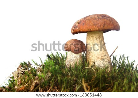 Mushrooms on moss - isolated on white - stock photo