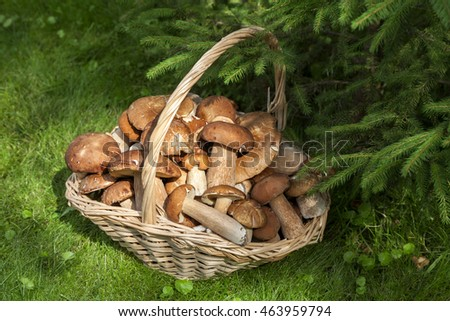 Mushrooms porcini  in the wicker basket on the green grass. Wicker basket with mushrooms. Mushrooms porcini. Mushrooms porcini in the forest.