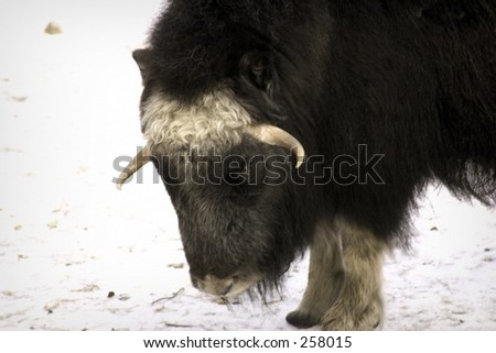musk-ox - stock photo