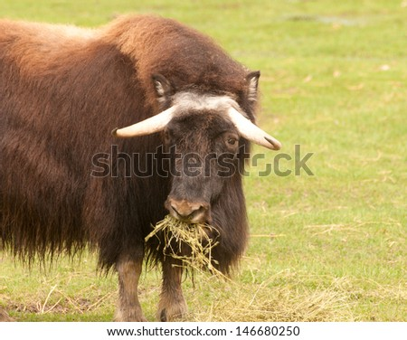 Musk ox, arctic mammal of the family Bovidae, native to frozen tundra - stock photo