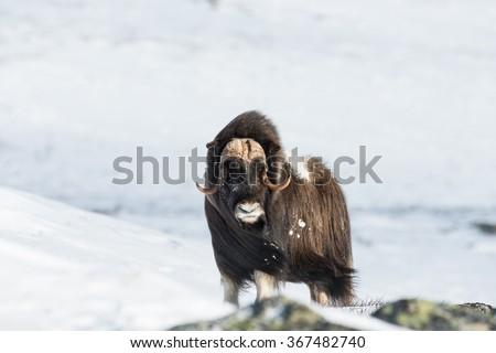 Musk Ox at Dovrefjell National Park, Norway - stock photo
