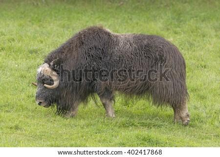 Musk Ox in a Preserve near Fairbanks, Alaska - stock photo