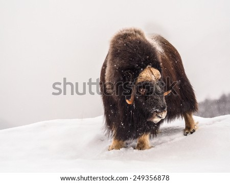 Musk-ox in Arctic  during wintertime - stock photo