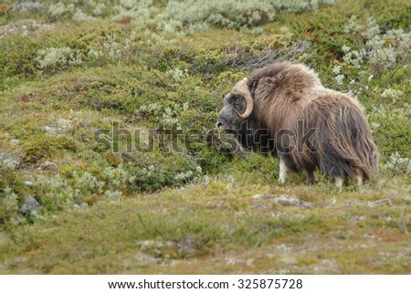 Musk ox in Northern Norway - stock photo