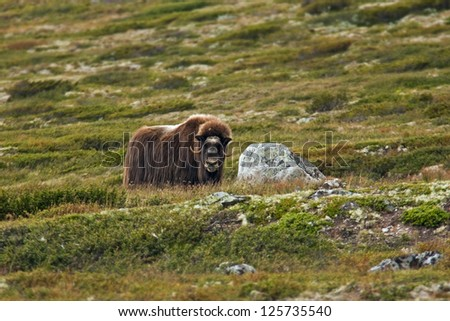 musk ox in norway - stock photo