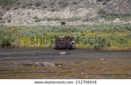 Musk ox in river in arctic valley, Greenland - stock photo