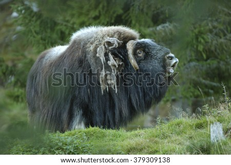 Musk Ox laughter - stock photo