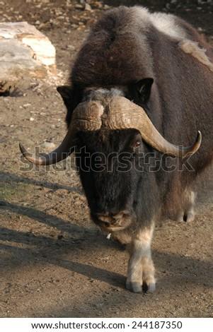 Musk ox (Ovibos moschatus).   - stock photo