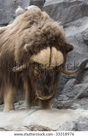 Musk Oxen Hangs on the edge to survive. - stock photo