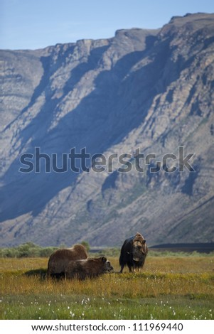 Musk oxen in arctic tundra, Greenland - stock photo