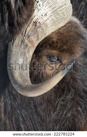 Muskox closeup focus on eye - stock photo