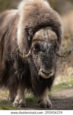 Muskox in the Dovrefjell National Park / Muskox - stock photo