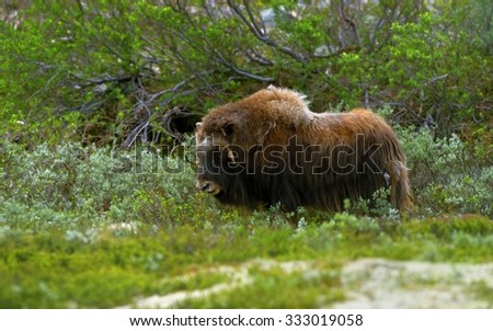 Muskox in the Dovrefjell National Park / Muskox / Musk-ox  - stock photo