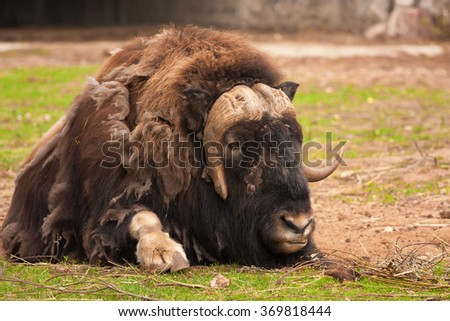 Muskox ( Ovibos moschatus ) in captivity - stock photo