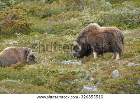 Muskoxen in Norway - stock photo