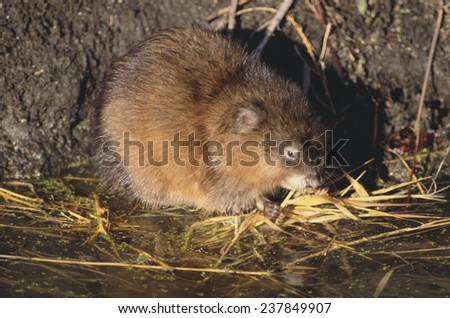 Muskrat Eating Grass