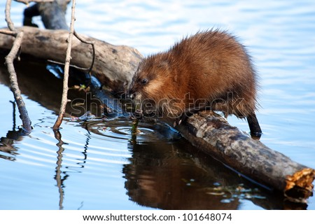 Muskrat eating while standing on a log in the water. - stock photo