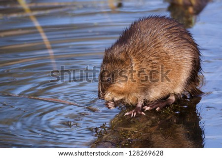 Muskrat feeding in shallow water riparian wetland habitat environment wildlife & nature photography rodent musk rat fur trapping Montana - stock photo