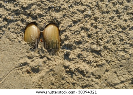 Mussel on yellow sand