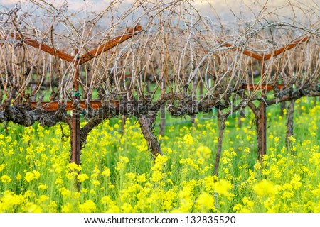 Mustard bloom in vineyard, Napa, California, USA - stock photo