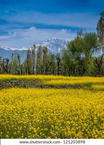 Mustard field - stock photo