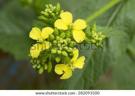 Mustard flower Sinapis Aiba yellow flowers and plant, nature - stock photo