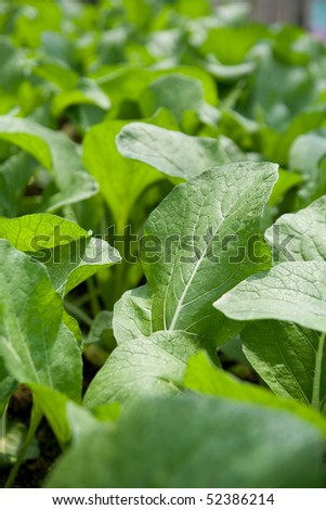 Mustard greens at a vegetable farm. Selective focus. - stock photo