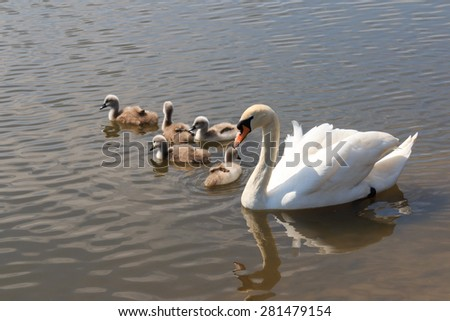 Mute Swan and five Signets swimming in the UK - stock photo