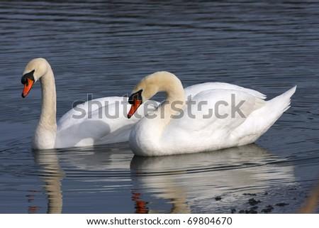 Mute Swan Cygnus olor - stock photo