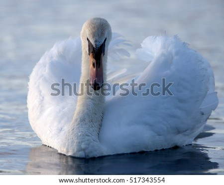 Mute Swan (Cygnus olor) adult in threat display, south Devon, England, UK.