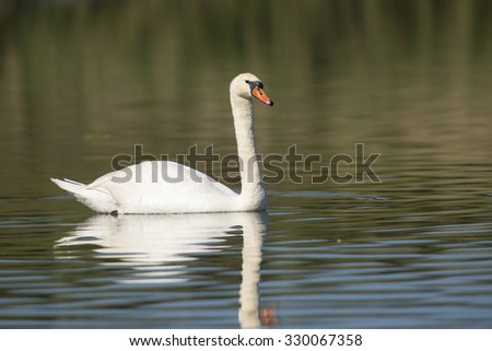 Mute Swan (Cygnus olor) female swimming in water