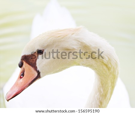 Mute Swan (Cygnus olor) head closeup with graceful neck arch. - stock photo