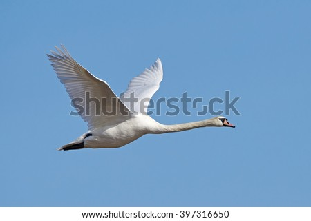 Mute swan (Cygnus olor) in flight with blue skies in the background