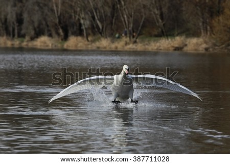 Mute Swan (Cygnus olor) is landing on water.