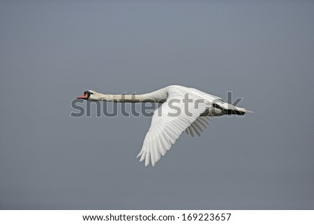 Mute swan, Cygnus olor, single bird in flight, UK