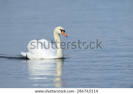 Mute swan (Cygnus olor) swimming in blue water with reflection. - stock photo