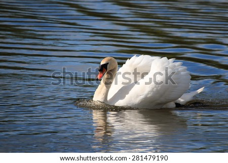 Mute Swan defending territory in the UK - stock photo