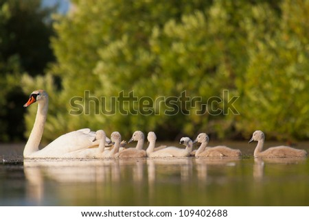 Mute swan family, adult with young, white swan, Cygnus olor - stock photo