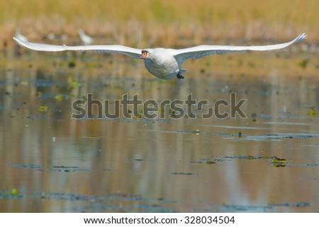 Mute Swan flying across the marsh. - stock photo
