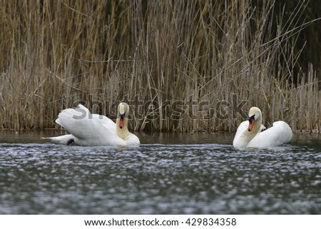 Mute swan in love on a lake - stock photo