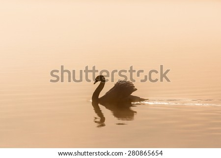 Mute swan in morning light - stock photo