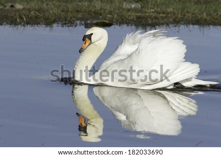 Mute Swan in natural habitat - courtship / mating behavior - stock photo