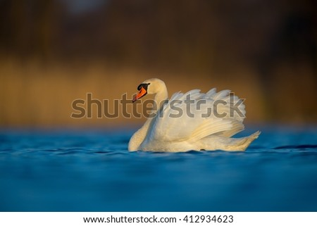 Mute Swan in the evening light (Cygnus olor)