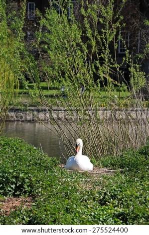 Mute swan nesting on the River Severn riverbank, Shrewsbury, Shropshire, England, UK, Western Europe. - stock photo