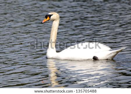 mute swan on a lake - stock photo