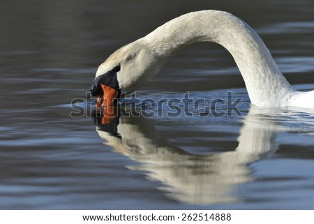 Mute swan on a lake. - stock photo