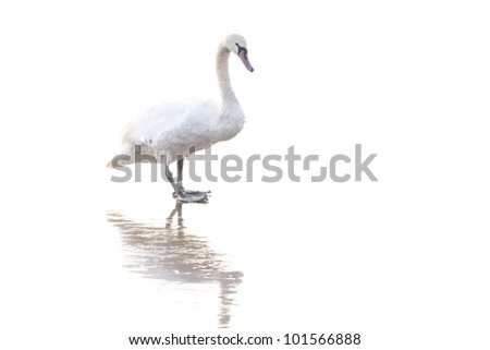 Mute Swan on ice, contre jour
