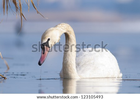 Mute Swan on water in winter