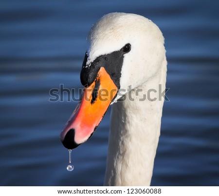 Mute Swan portrait - stock photo